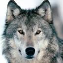 WolfF_56